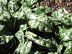 Victorian Brooch Lungwort (Pulmonaria 'Victorian Brooch') at GardenWorks