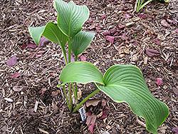 Abba Dabba Hosta (Hosta 'Abba Dabba') at GardenWorks