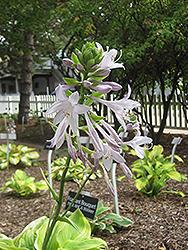 Fragrant Bouquet Hosta (Hosta 'Fragrant Bouquet') at GardenWorks