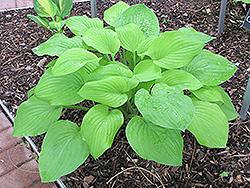 Golden Sunburst Hosta (Hosta 'Golden Sunburst') at GardenWorks