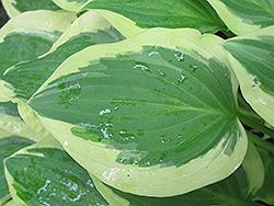 Pilgrim Hosta (Hosta 'Pilgrim') at GardenWorks