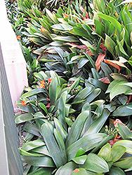 Belgian Hybrid Orange Clivia (Clivia x miniata 'Belgian Hybrid Orange') at GardenWorks