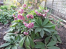 Berry Swirl Hellebore (Helleborus 'Berry Swirl') at GardenWorks