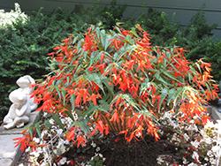 Santa Cruz Sunset Begonia (Begonia boliviensis 'Santa Cruz Sunset') at GardenWorks