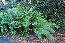 Giant Chain Fern (Woodwardia fimbriata) at GardenWorks