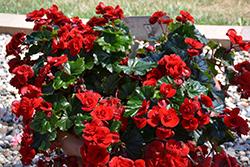 Solenia Velvet Red Begonia (Begonia x hiemalis 'Solenia Velvet Red') at GardenWorks
