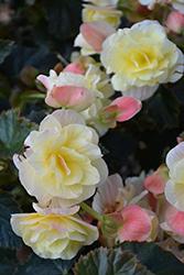 Solenia Light Yellow Begonia (Begonia x hiemalis 'Solenia Light Yellow') at GardenWorks
