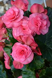 Solenia Dusty Rose Begonia (Begonia x hiemalis 'Solenia Dusty Rose') at GardenWorks