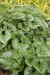 Emerald Mist Bugloss (Brunnera macrophylla 'Emerald Mist') at GardenWorks