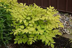 Sun King Japanese Spikenard (Aralia cordata 'Sun King') at GardenWorks