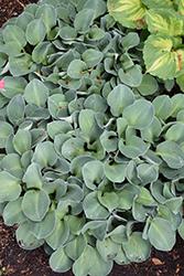 Blue Mouse Ears Hosta (Hosta 'Blue Mouse Ears') at GardenWorks