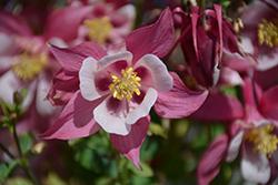 Origami Rose and White Columbine (Aquilegia 'Origami Rose and White') at GardenWorks
