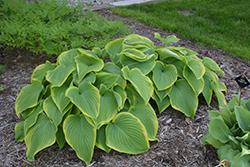 Victory Hosta (Hosta 'Victory') at GardenWorks