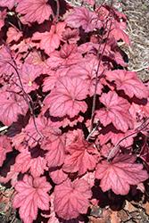 Georgia Plum Coral Bells (Heuchera 'Georgia Plum') at GardenWorks