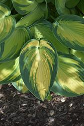 June Hosta (Hosta 'June') at GardenWorks