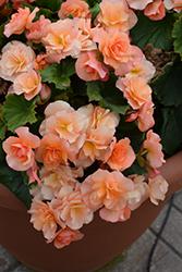 Solenia Apricot Begonia (Begonia x hiemalis 'Solenia Apricot') at GardenWorks