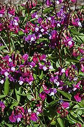 Spring Vetchling (Lathyrus vernus) at GardenWorks