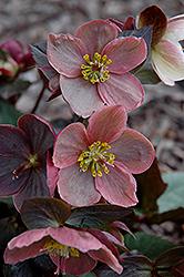 Pink Frost Hellebore (Helleborus 'COSEH 710') at GardenWorks