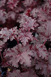 Blackberry Crisp Coral Bells (Heuchera 'Blackberry Crisp') at GardenWorks