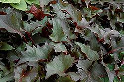 Osiris Fantasie Rayflower (Ligularia stenocephala 'Osiris Fantasie') at GardenWorks