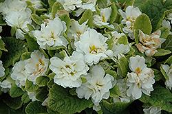 Dawn Ansell Primrose (Primula 'Dawn Ansell') at GardenWorks