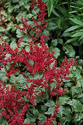 Burgundy Red Astilbe (Astilbe x arendsii 'Burgunderrot') at GardenWorks