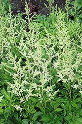 Snowdrift Astilbe (Astilbe x arendsii 'Snowdrift') at GardenWorks
