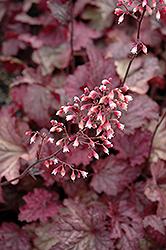 Berry Smoothie Coral Bells (Heuchera 'Berry Smoothie') at GardenWorks