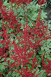 Red Sentinel Astilbe (Astilbe x arendsii 'Red Sentinel') at GardenWorks