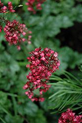 Paris Coral Bells (Heuchera 'Paris') at GardenWorks