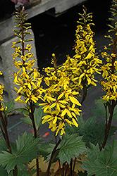 Little Rocket Rayflower (Ligularia 'Little Rocket') at GardenWorks
