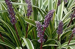 Variegata Lily Turf (Liriope muscari 'Variegata') at GardenWorks