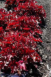 Dolce Creme Brulee Coral Bells (Heuchera 'Tnheu041') at GardenWorks