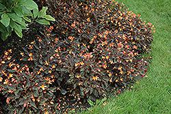 Sparks Will Fly Begonia (Begonia 'Sparks Will Fly') at GardenWorks