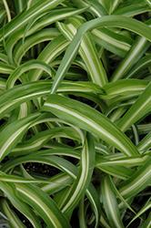 Variegated Spider Plant (Chlorophytum comosum 'Variegatum') at GardenWorks