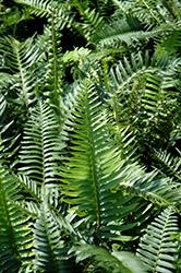 Sword Fern (Polystichum munitum) at GardenWorks