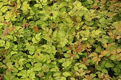 Color Flash Lime Astilbe (Astilbe x arendsii 'Color Flash Lime') at GardenWorks