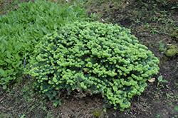 Dwarf Balsam Fir (Abies balsamea 'Nana') at GardenWorks