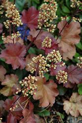 Little Cuties Blondie Coral Bells (Heuchera 'Blondie') at GardenWorks