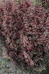 Purple Petticoats Coral Bells (Heuchera 'Purple Petticoats') at GardenWorks