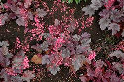 Milan Coral Bells (Heuchera 'Milan') at GardenWorks