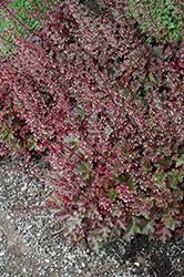 Chocolate Ruffles Coral Bells (Heuchera 'Chocolate Ruffles') at GardenWorks