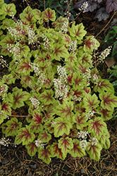 Stoplight Foamy Bells (Heucherella 'Stoplight') at GardenWorks