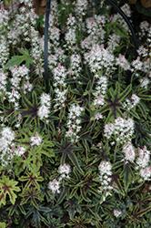 Cascade Creeper Foamflower (Tiarella 'Cascade Creeper') at GardenWorks