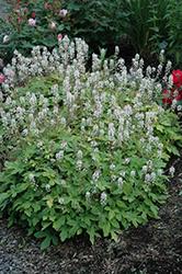 Spring Symphony Foamflower (Tiarella 'Spring Symphony') at GardenWorks