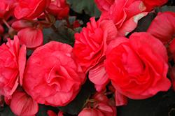 Solenia Dark Pink Begonia (Begonia x hiemalis 'Solenia Dark Pink') at GardenWorks