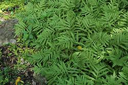 Sensitive Fern (Onoclea sensibilis) at GardenWorks