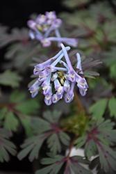 Purple Leaf Corydalis (Corydalis flexuosa 'Purple Leaf') at GardenWorks
