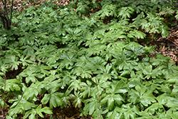 Mayapple (Podophyllum peltatum) at GardenWorks