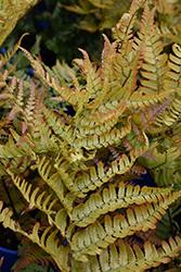 Brilliance Autumn Fern (Dryopteris erythrosora 'Brilliance') at GardenWorks